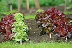 Как вырастить салат на даче
