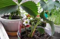 Выращивание клубники в различных емкостях