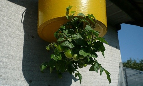 Выращивание помидоров вниз головой