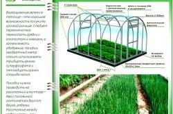 Основные правила выращивания лука в теплице