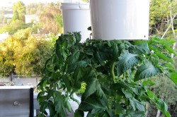 Выращивание томатов вверх ногами