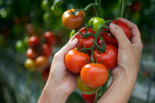 пример плодов томатов в теплице