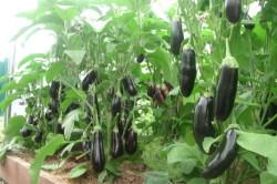 Выращивание баклажанов в теплице: высадка рассады, формирование, уход