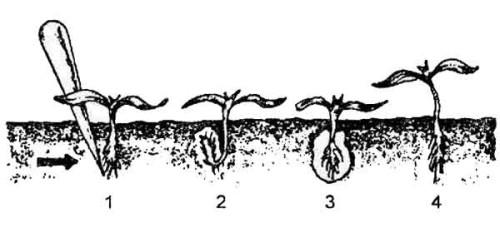 Выращивание ранней капусты рассадным и безрассадным методом