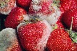 Заболевания плодов клубники