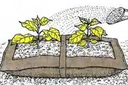 Высадка рассады баклажан в пленочные мешки