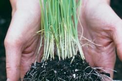 Выращивание лука-порея из семян: секреты опытных огородников