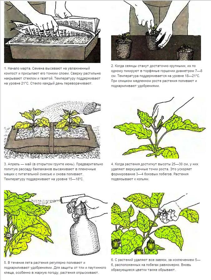 Как правильно выращивать баклажаны 10