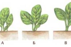 Как вырастить капусту на собственной даче