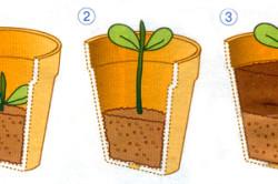 Выращивание рассады огурцов в гошочках