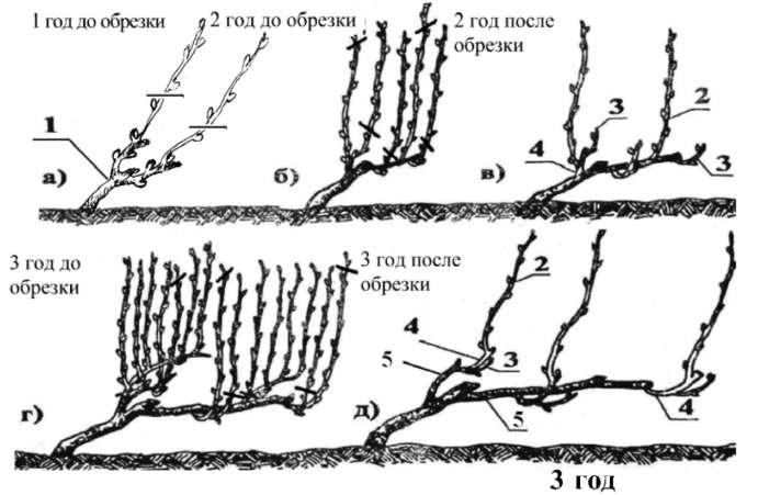 Схема формирования куста винограда по годам