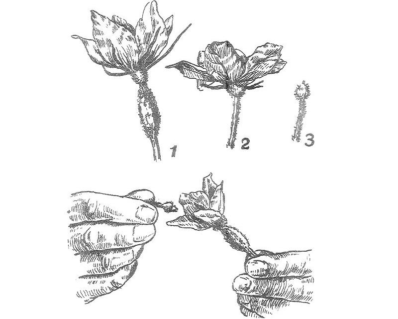 Схема ручного опыления огурца: 1 – женский цветок; 2 – мужской цветок; 3 – мужской цветок с оборванными лепестками, самоопыление