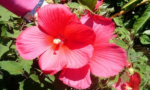 Цветение суданской розы