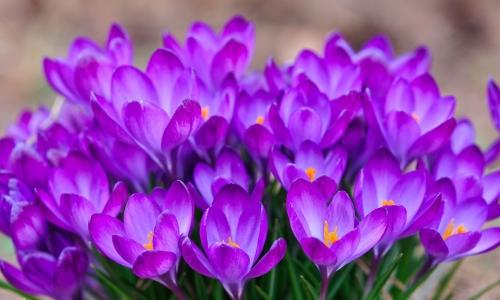 Цветы шафрана
