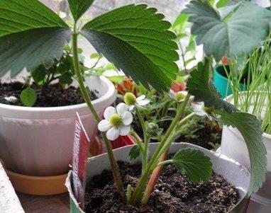 Как выращивать клубнику? Как вырастить большую и сладкую клубнику на огороде, в теплице?