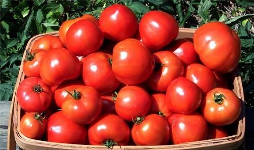 Как получить хороший урожай томатов методом гидропоники
