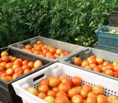 Выращивание томатов в мешках в открытом грунте 26