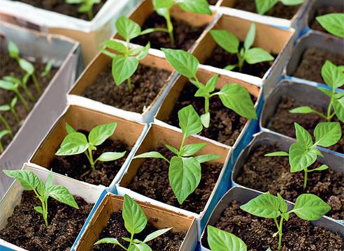 Рассада помидор - выращивание из 74