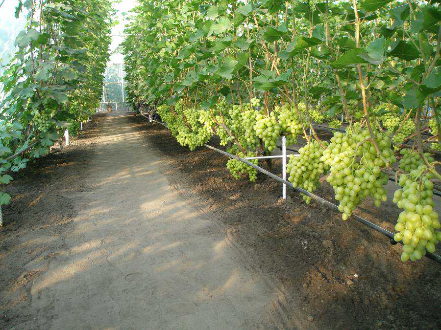 Как сажать зелёный виноград 68