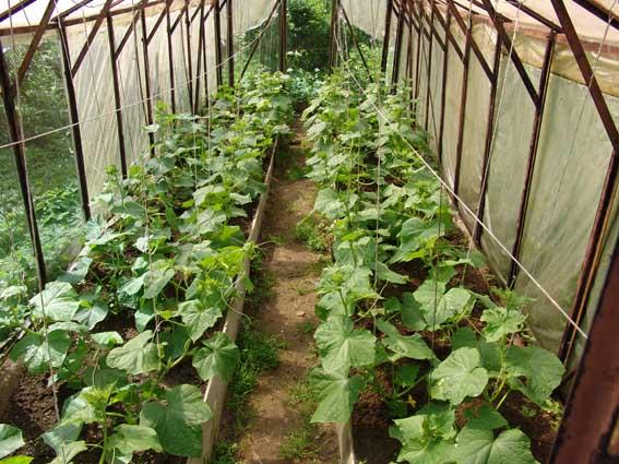 Выращивание огурцов в парниках 46