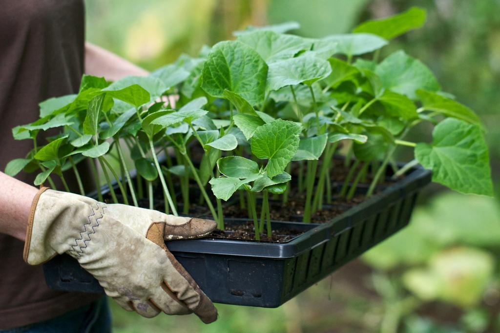 Дела огородные выращивание огурцов 32