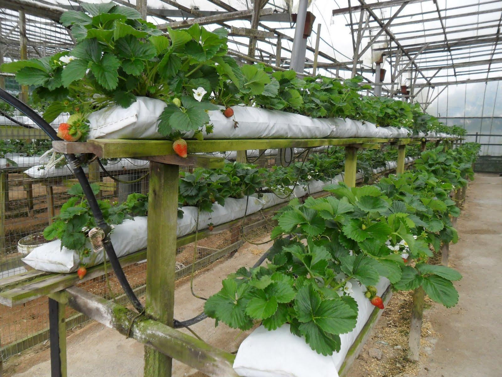 Производственное выращивание клубники 231