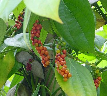 Перец черный: как растет в природе и домашних условиях