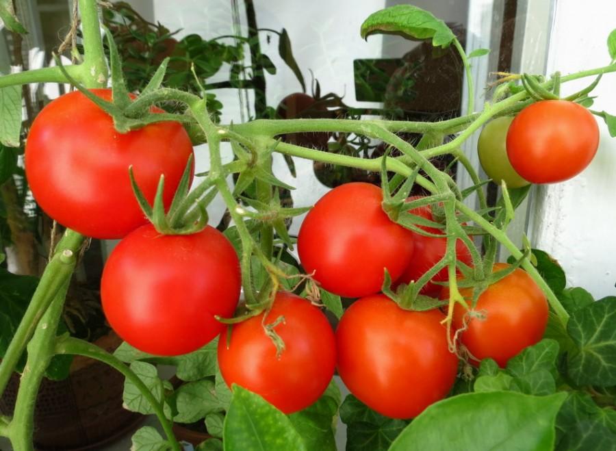 Балконное чудо помидоры выращивание в теплице 63