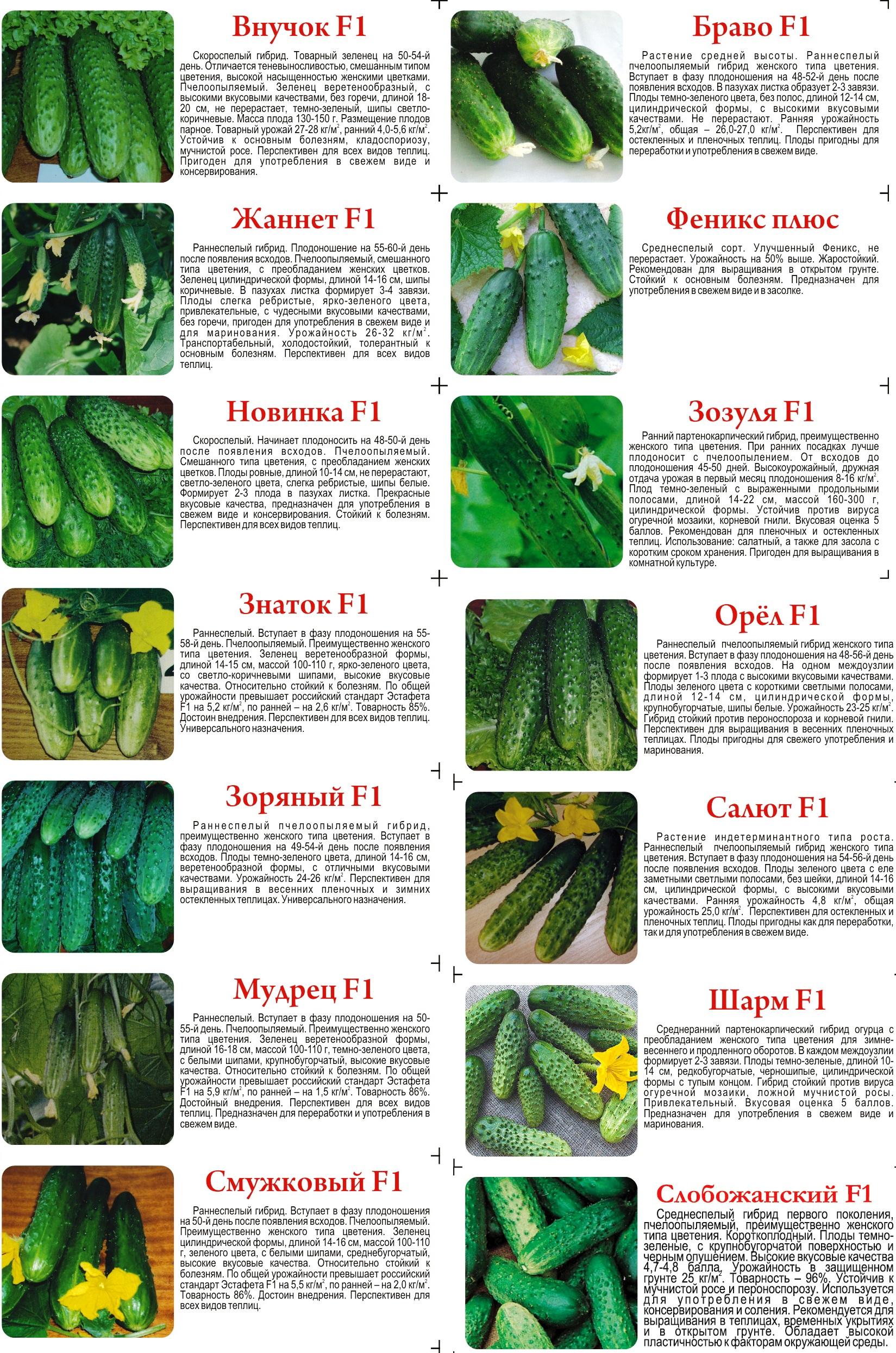 Огурцы в теплице: как выращивать и ухаживать для получения в.