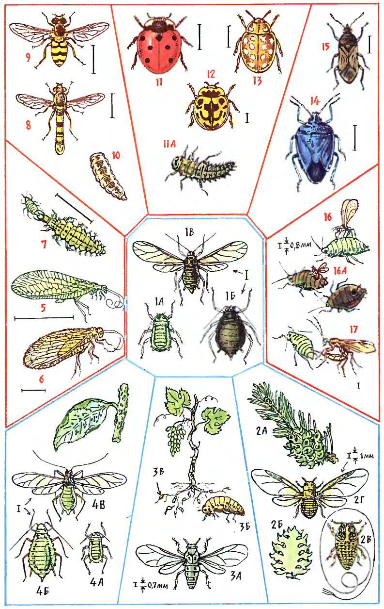 ромашка от паразитов в организме