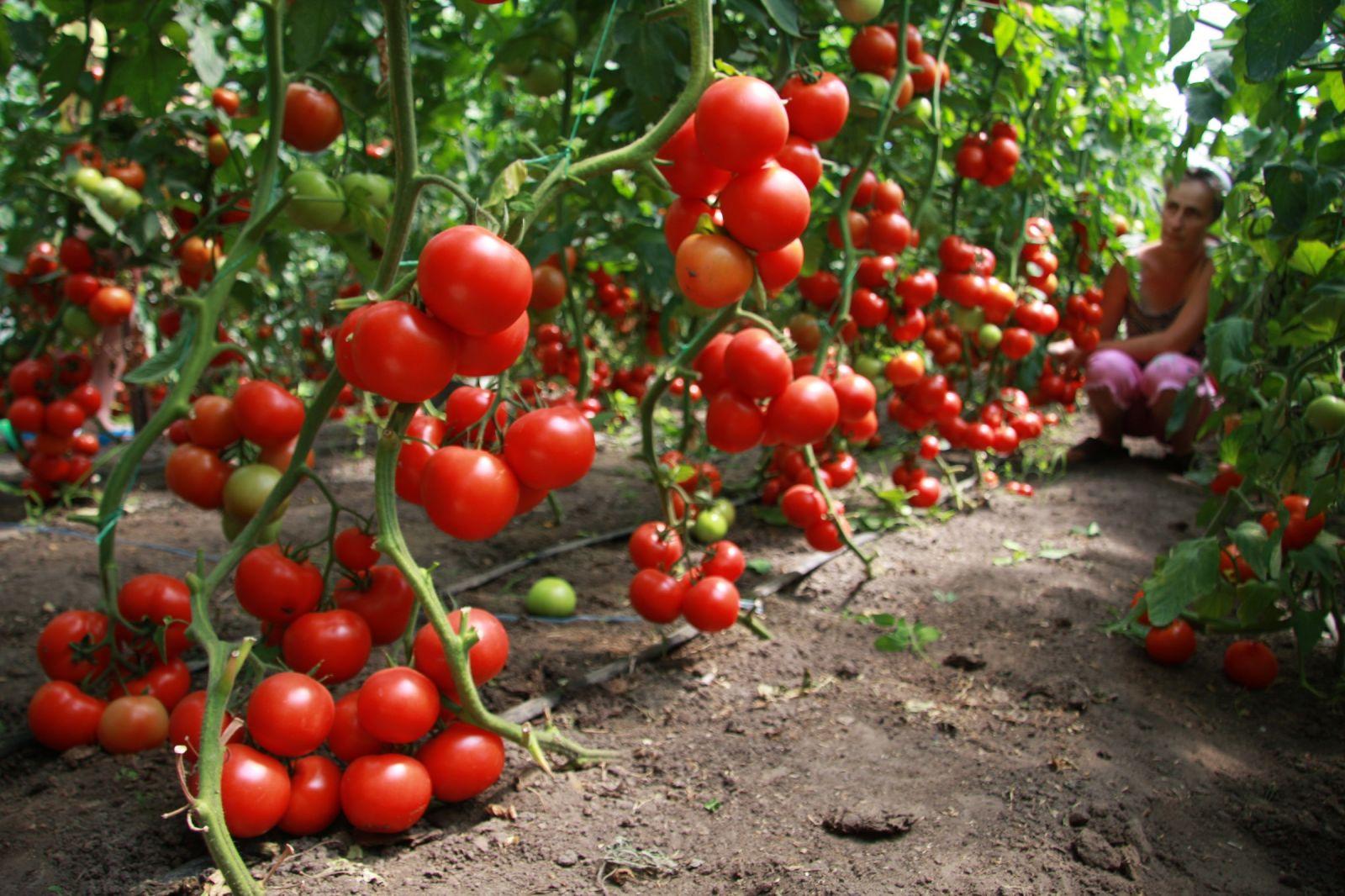 Как выбирать помидоры для рассады 62