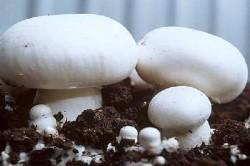выращивание шампиньонов