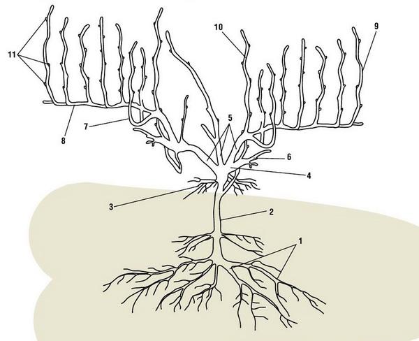 Структура куста винограда: 1. Пяточные корни, 2. Подземный штамб, 3. Росяные поверхностные корни, 4. Голова куста, 5. Рукава, 6. Рожок, 7. Сучок замещения 8. Стрелка плодоношения, 9. Однолетние побеги (лозы), 10. Порослевый побег, 11. Плодовое зерно.
