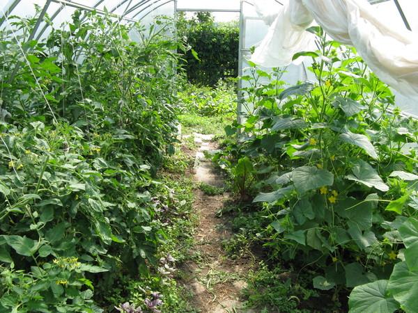 Пример выращивания огурцов и томатов в одной теплице
