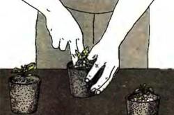 Пикировка сеянцев баклажан в торфяные горшочки