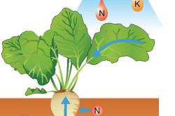 Схема потребления питательных веществ свеклой
