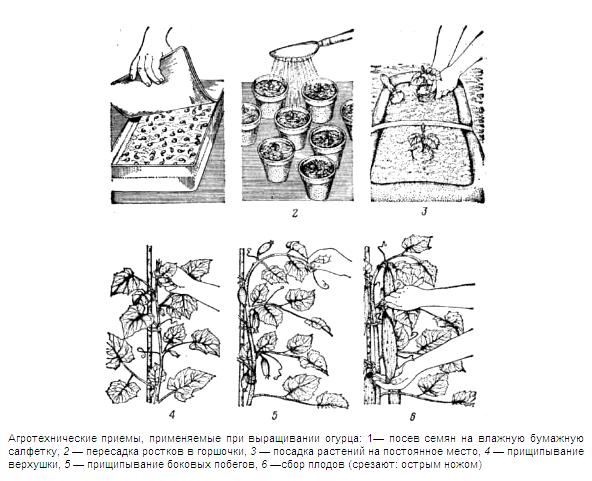 Схема выращивания огурцов в теплице