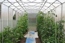 Совместное выращивание томатов и огурцов