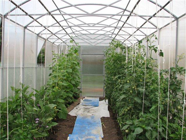 Можно ли сажать баклажаны с помидорами в теплице 52