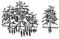 Выращивание прикопанными пасынками