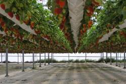 Урожай при гидропонике
