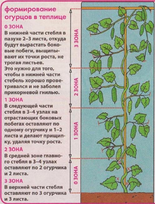 Вормирование стебля огурца