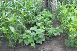 Выращивание огурцов совместно и кукурузой