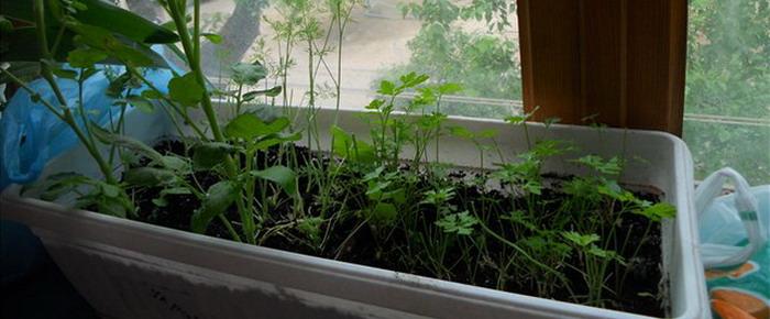 Выращивание петрушки в домашних условиях 18