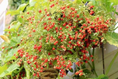 Почва для помидоров черри