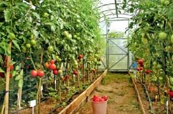 Пример выращивания высокорослых томатов
