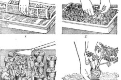 Схема посева семян томатов и пикировки сеянцев