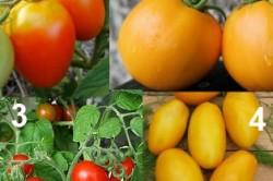 Среднеплодные сорта томатов