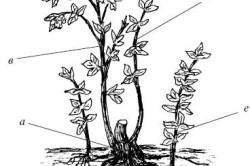 Схема строения куста малины